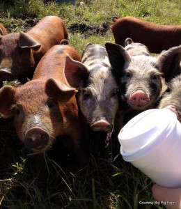 Piglets being feed coffee grounds. Yum!